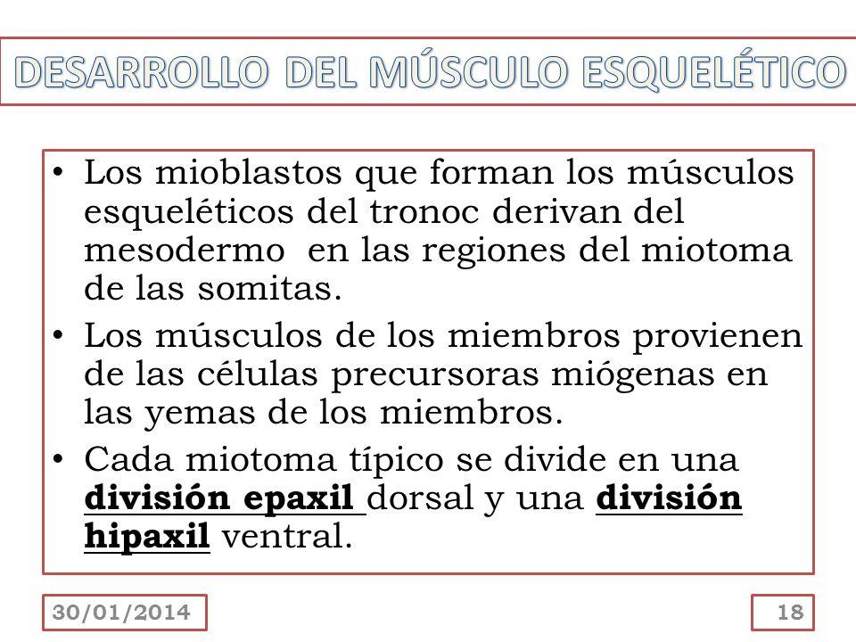 Los mioblastos que forman los músculos esqueléticos del tronoc derivan del mesodermo en las regiones del miotoma de las somitas. Los músculos de los m