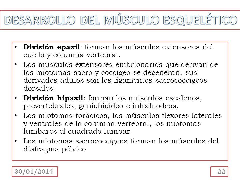 División epaxil : forman los músculos extensores del cuello y columna vertebral. Los músculos extensores embrionarios que derivan de los miotomas sacr