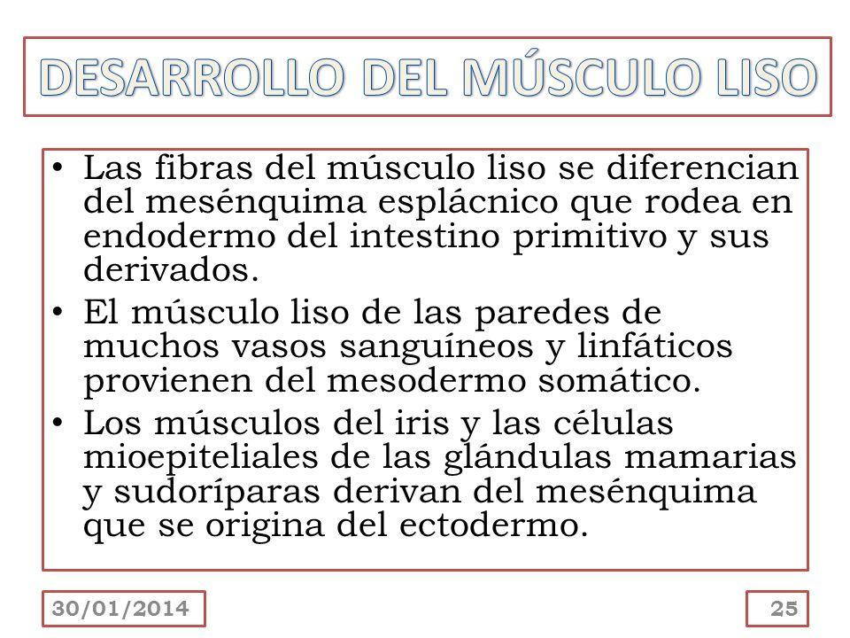 Las fibras del músculo liso se diferencian del mesénquima esplácnico que rodea en endodermo del intestino primitivo y sus derivados. El músculo liso d