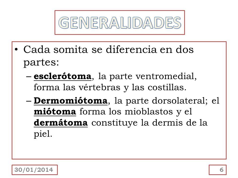 Cada somita se diferencia en dos partes: – esclerótoma, la parte ventromedial, forma las vértebras y las costillas. – Dermomiótoma, la parte dorsolate