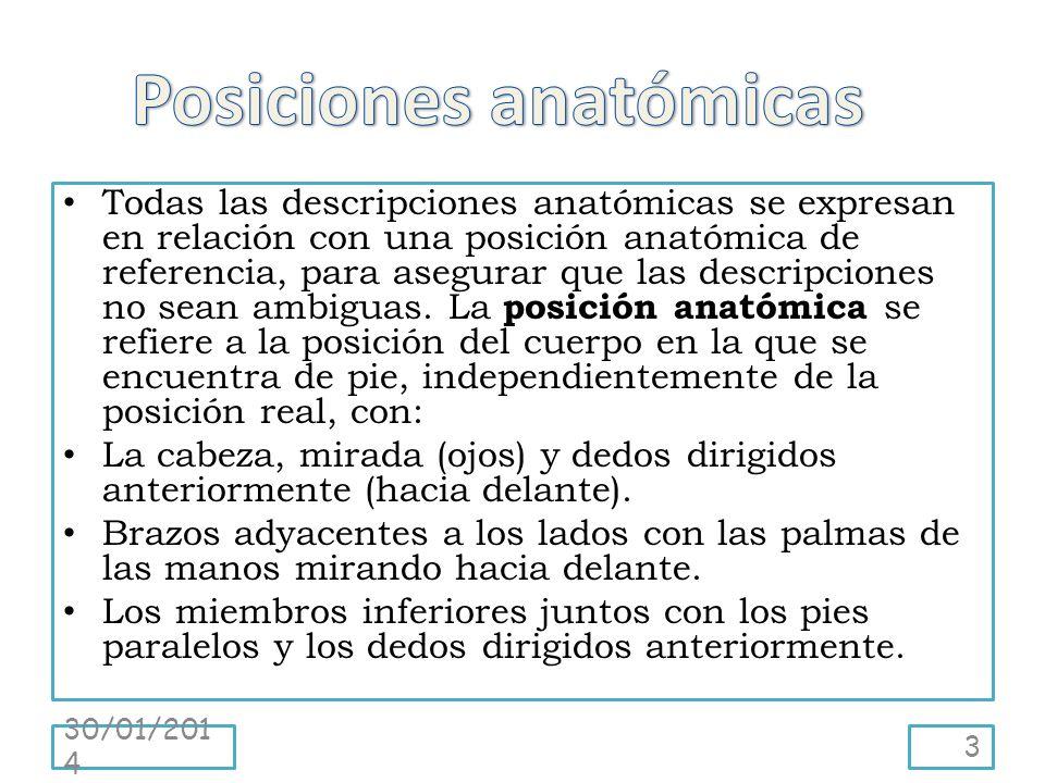 Todas las descripciones anatómicas se expresan en relación con una posición anatómica de referencia, para asegurar que las descripciones no sean ambig