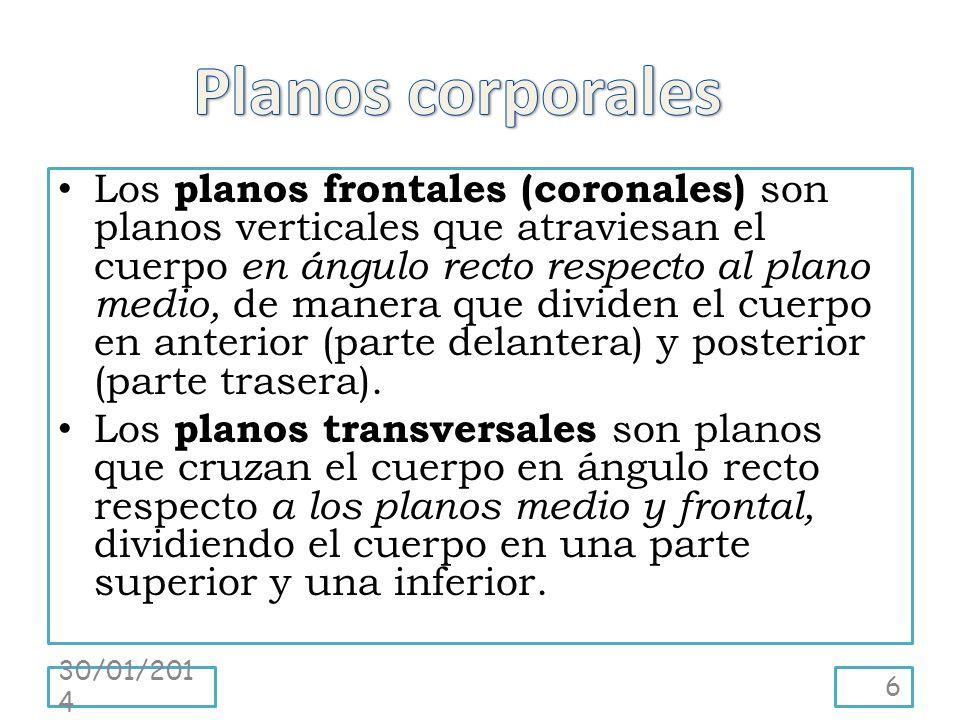 Los planos frontales (coronales) son planos verticales que atraviesan el cuerpo en ángulo recto respecto al plano medio, de manera que dividen el cuerpo en anterior (parte delantera) y posterior (parte trasera).