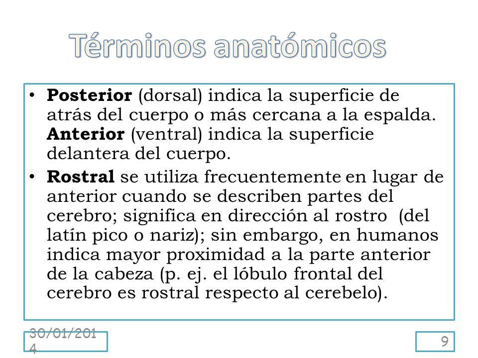 Posterior (dorsal) indica la superficie de atrás del cuerpo o más cercana a la espalda. Anterior (ventral) indica la superficie delantera del cuerpo.