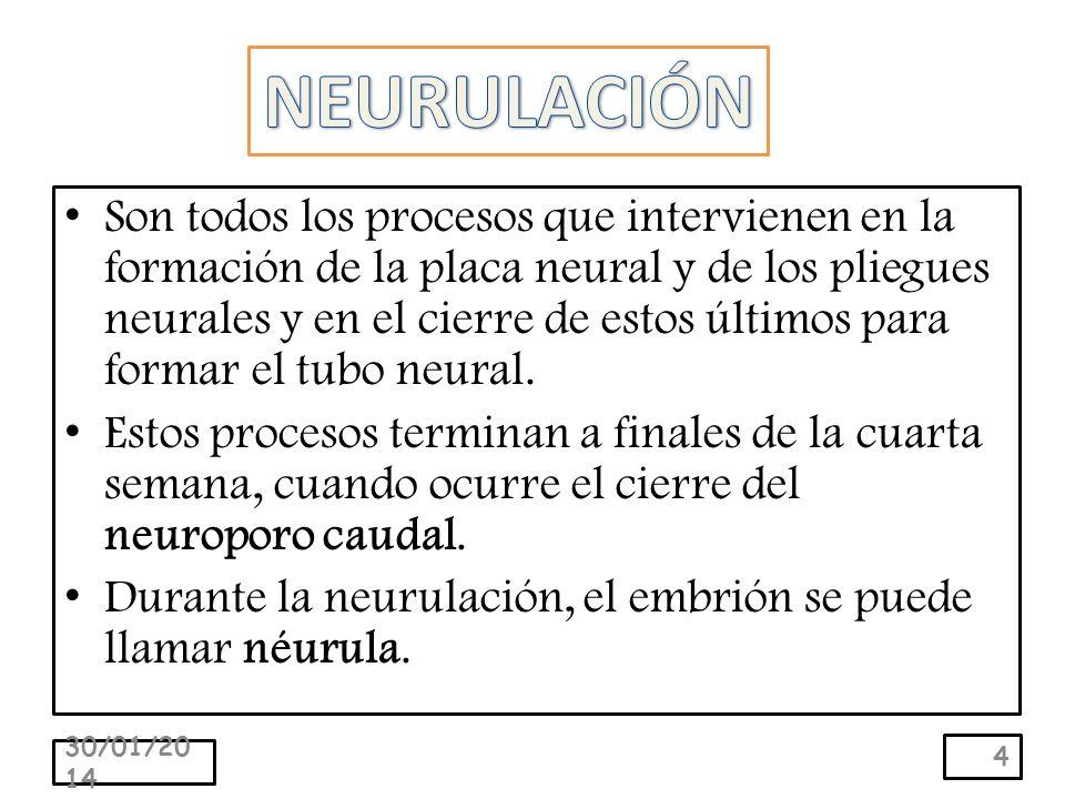 Son todos los procesos que intervienen en la formación de la placa neural y de los pliegues neurales y en el cierre de estos últimos para formar el tubo neural.