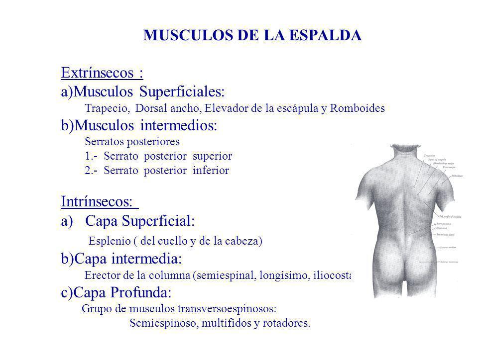 MUSCULOS DE LA ESPALDA Extrínsecos : a)Musculos Superficiales: Trapecio, Dorsal ancho, Elevador de la escápula y Romboides b)Musculos intermedios: Ser