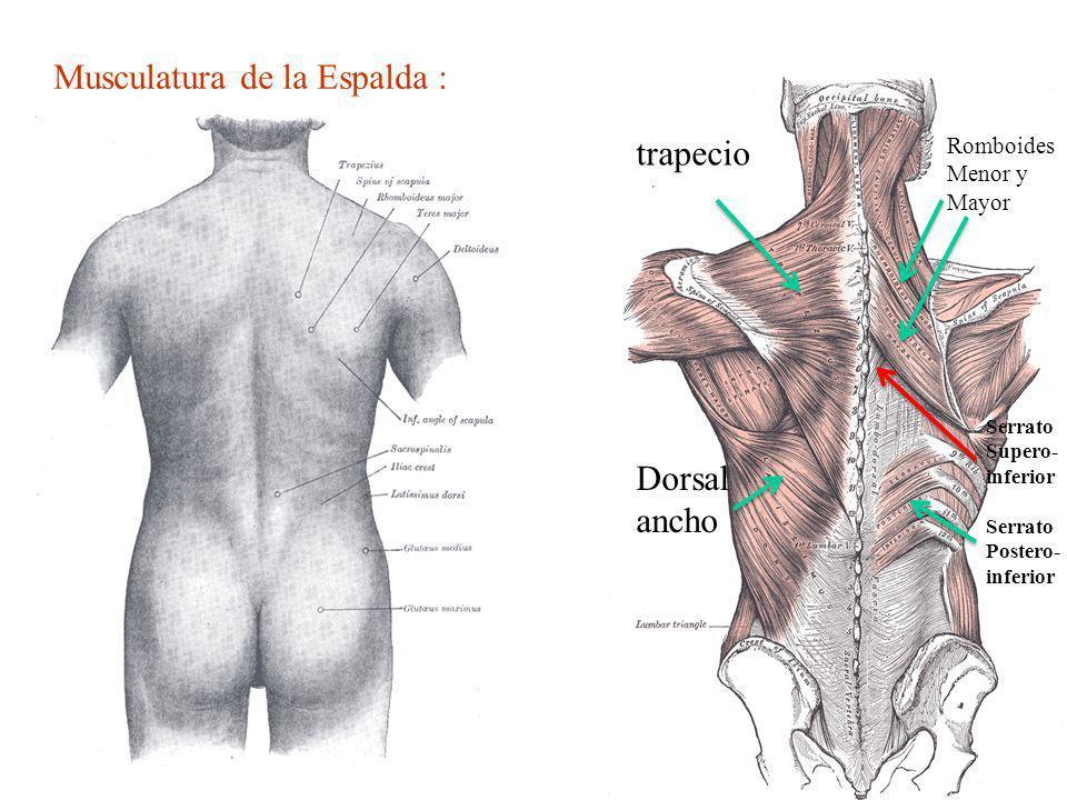 Musculatura de la Espalda : trapecio Dorsal ancho Romboides Menor y Mayor Serrato Postero- inferior Serrato Supero- inferior
