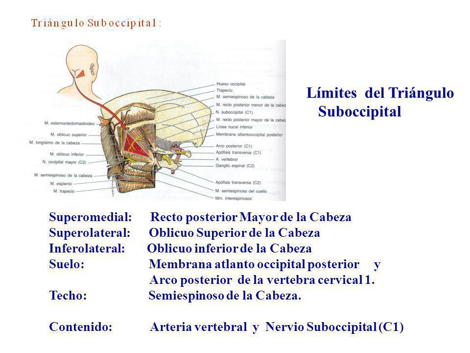 Límites del Triángulo Suboccipital Superomedial: Recto posterior Mayor de la Cabeza Superolateral: Oblicuo Superior de la Cabeza Inferolateral: Oblicu