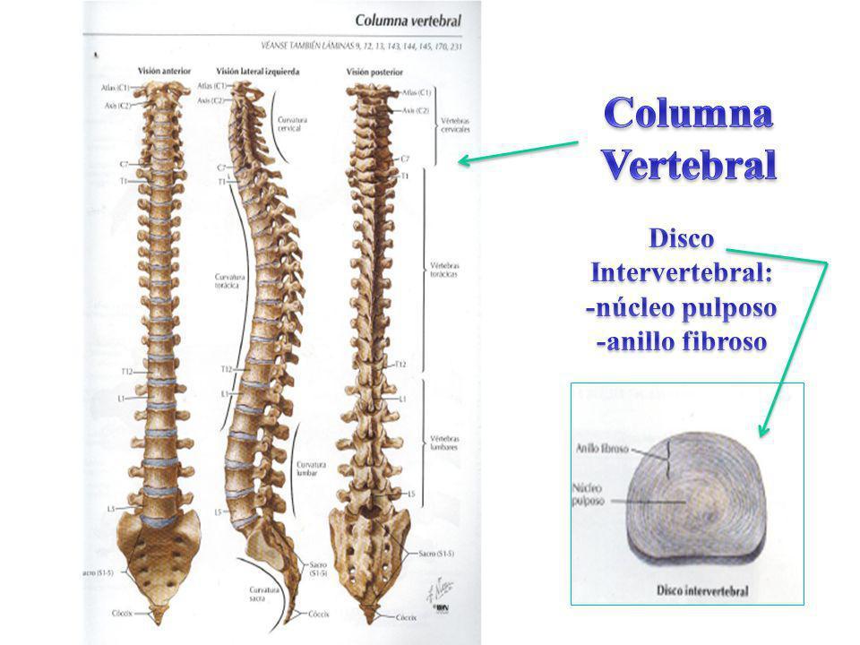 Único Modelo De Anatomía Columna Vertebral Modelo - Anatomía de Las ...