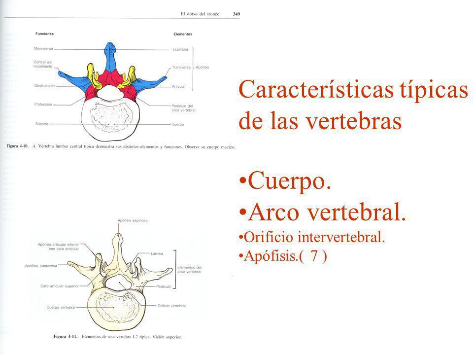 Características típicas de las vertebras Cuerpo. Arco vertebral. Orificio intervertebral. Apófisis.( 7 )