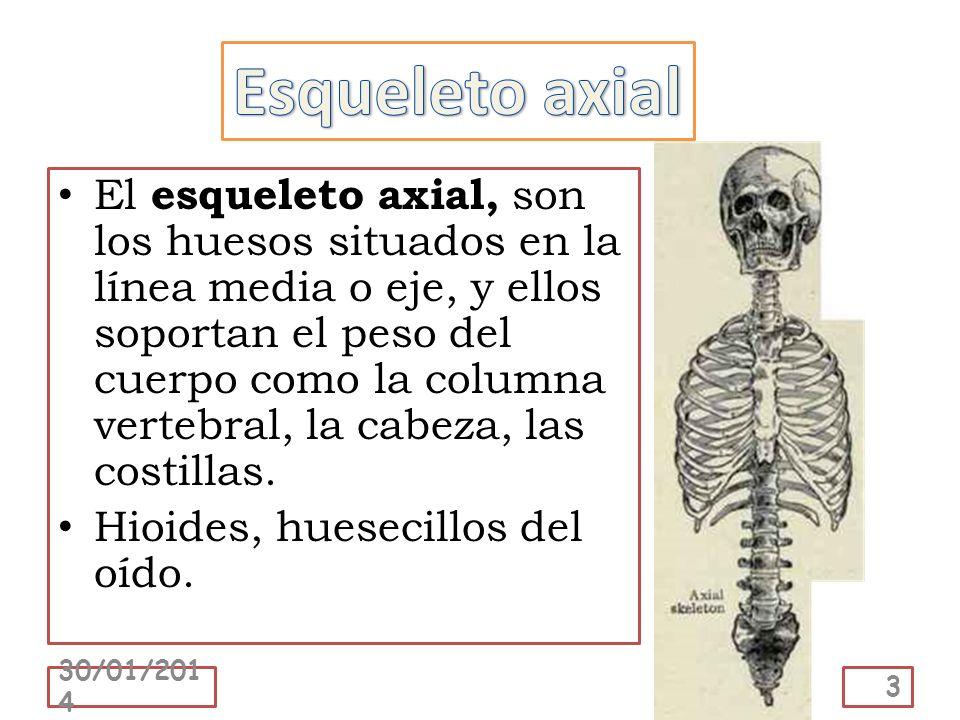 El esqueleto axial, son los huesos situados en la línea media o eje, y ellos soportan el peso del cuerpo como la columna vertebral, la cabeza, las cos