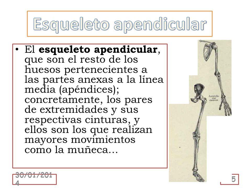 El esqueleto apendicular, que son el resto de los huesos pertenecientes a las partes anexas a la línea media (apéndices); concretamente, los pares de