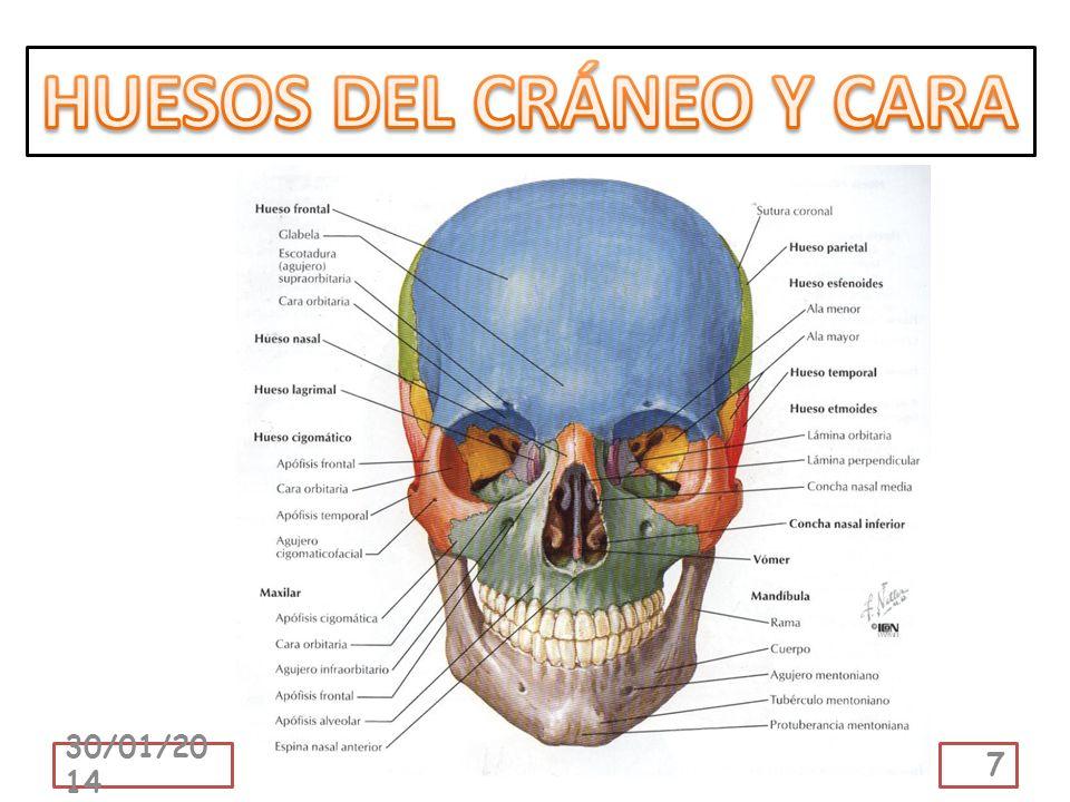 La cintura escapular está formada por la clavícula y la escápula u omóplato.
