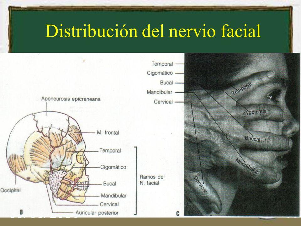 30/01/2014 15 Distribución del nervio facial