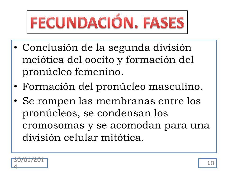 Conclusión de la segunda división meiótica del oocito y formación del pronúcleo femenino. Formación del pronúcleo masculino. Se rompen las membranas e