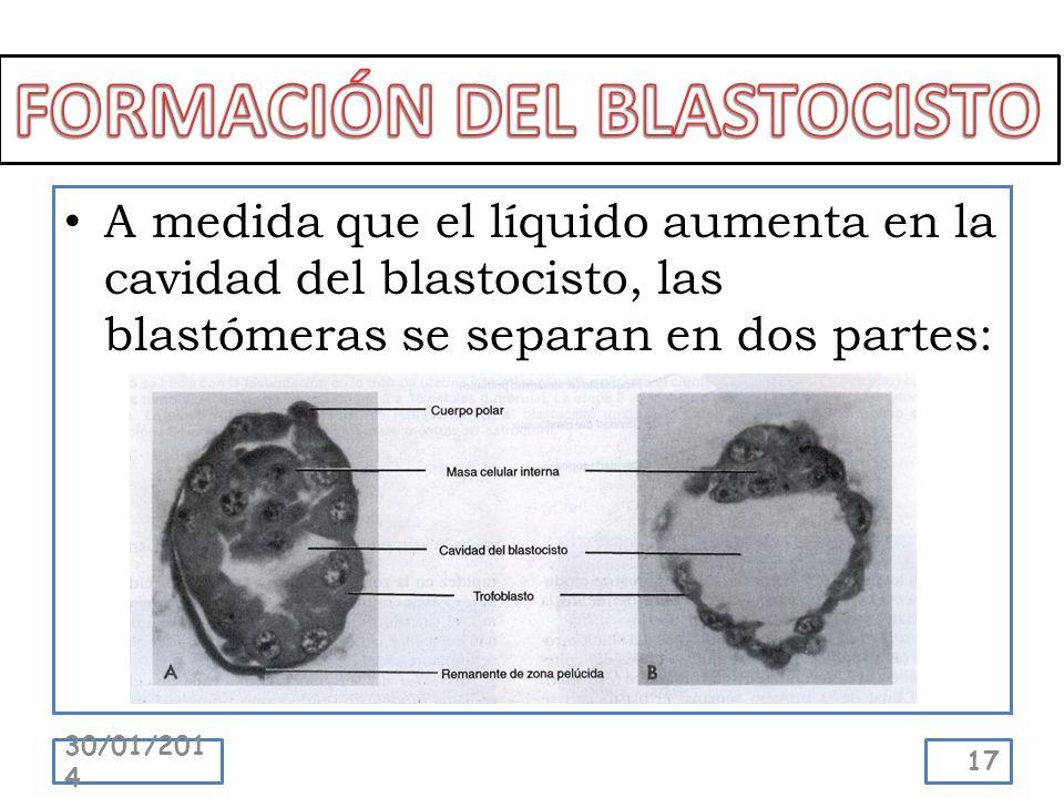 A medida que el líquido aumenta en la cavidad del blastocisto, las blastómeras se separan en dos partes: 30/01/2014 17