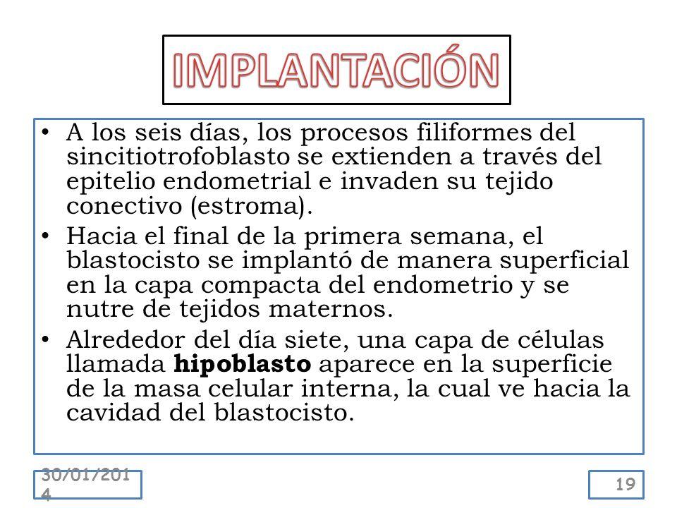 A los seis días, los procesos filiformes del sincitiotrofoblasto se extienden a través del epitelio endometrial e invaden su tejido conectivo (estroma
