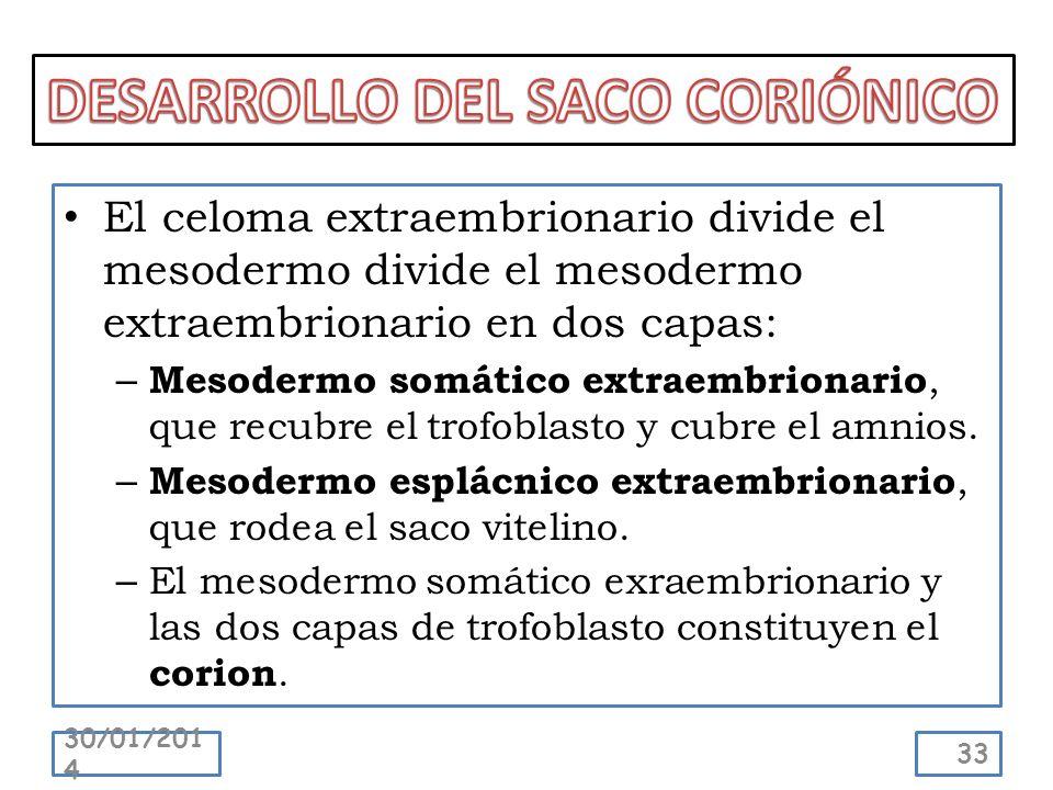 El celoma extraembrionario divide el mesodermo divide el mesodermo extraembrionario en dos capas: – Mesodermo somático extraembrionario, que recubre e