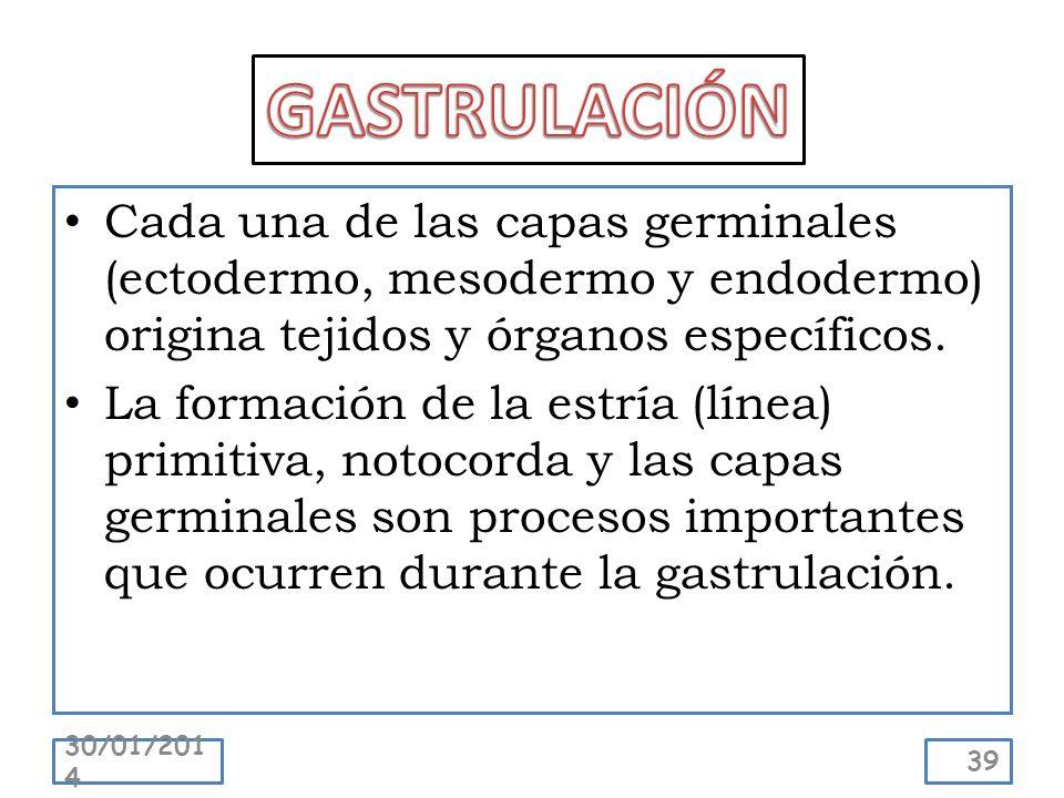 Cada una de las capas germinales (ectodermo, mesodermo y endodermo) origina tejidos y órganos específicos. La formación de la estría (línea) primitiva