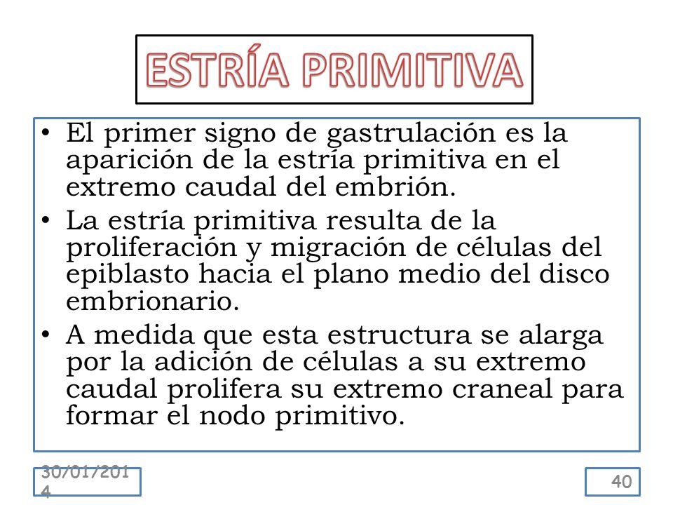 El primer signo de gastrulación es la aparición de la estría primitiva en el extremo caudal del embrión. La estría primitiva resulta de la proliferaci