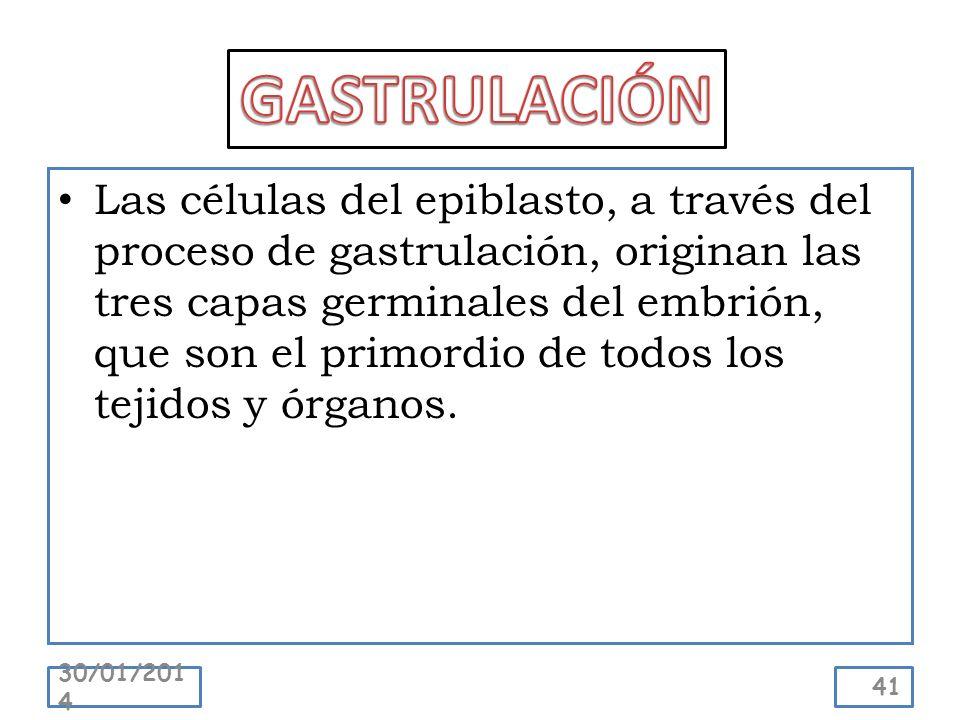 Las células del epiblasto, a través del proceso de gastrulación, originan las tres capas germinales del embrión, que son el primordio de todos los tej