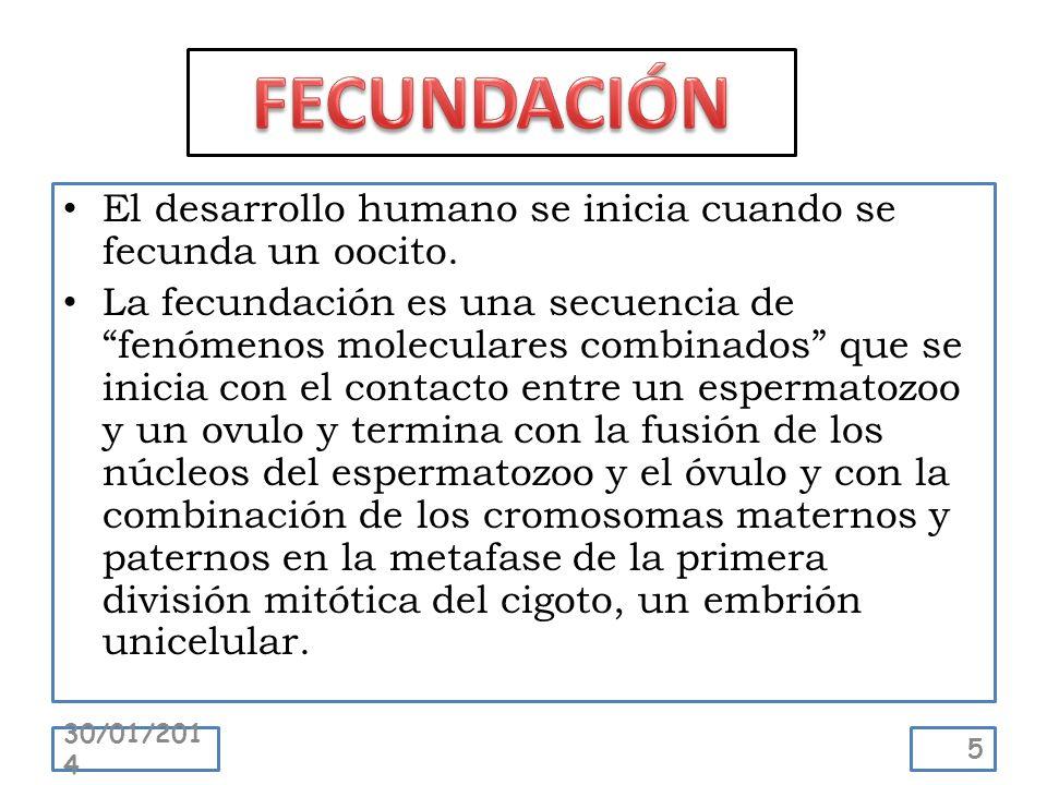 El desarrollo humano se inicia cuando se fecunda un oocito. La fecundación es una secuencia de fenómenos moleculares combinados que se inicia con el c