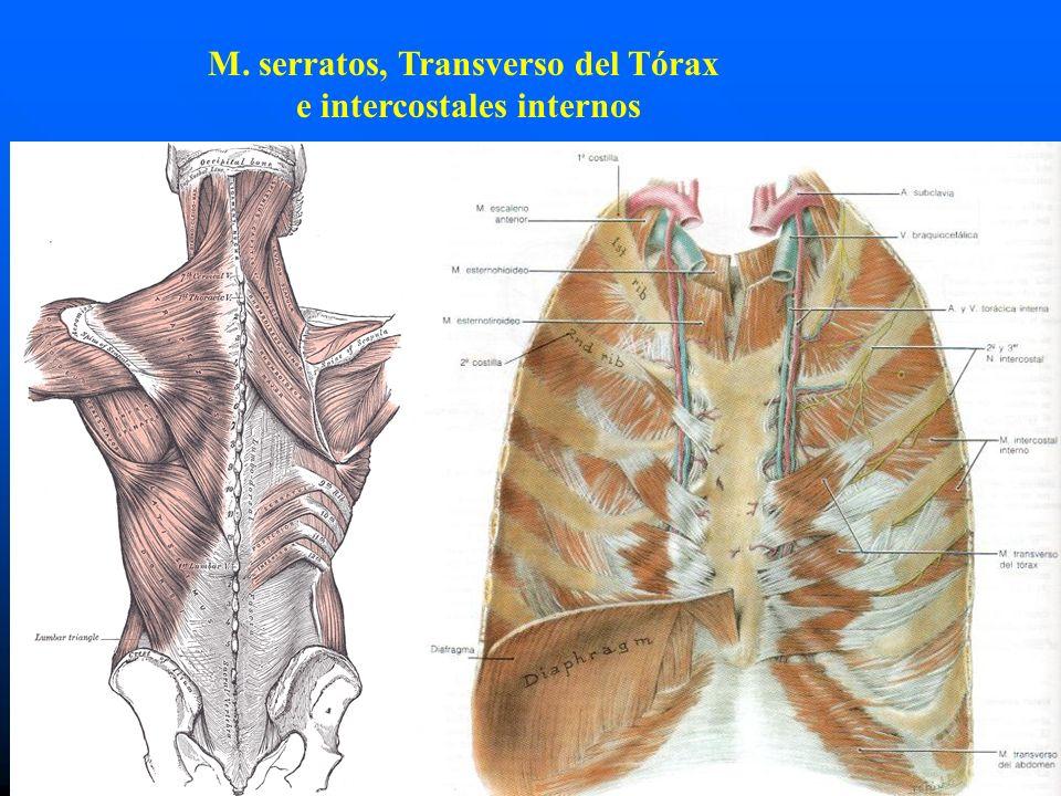 M. serratos, Transverso del Tórax e intercostales internos
