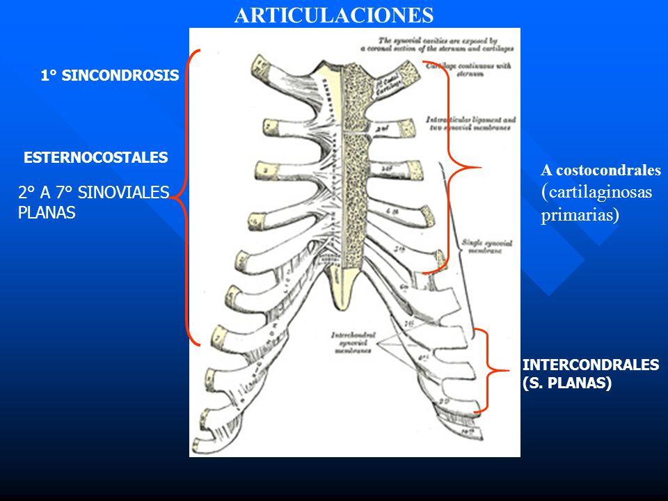 1° SINCONDROSIS 2° A 7° SINOVIALES PLANAS INTERCONDRALES (S. PLANAS) ESTERNOCOSTALES ARTICULACIONES A costocondrales ( cartilaginosas primarias)