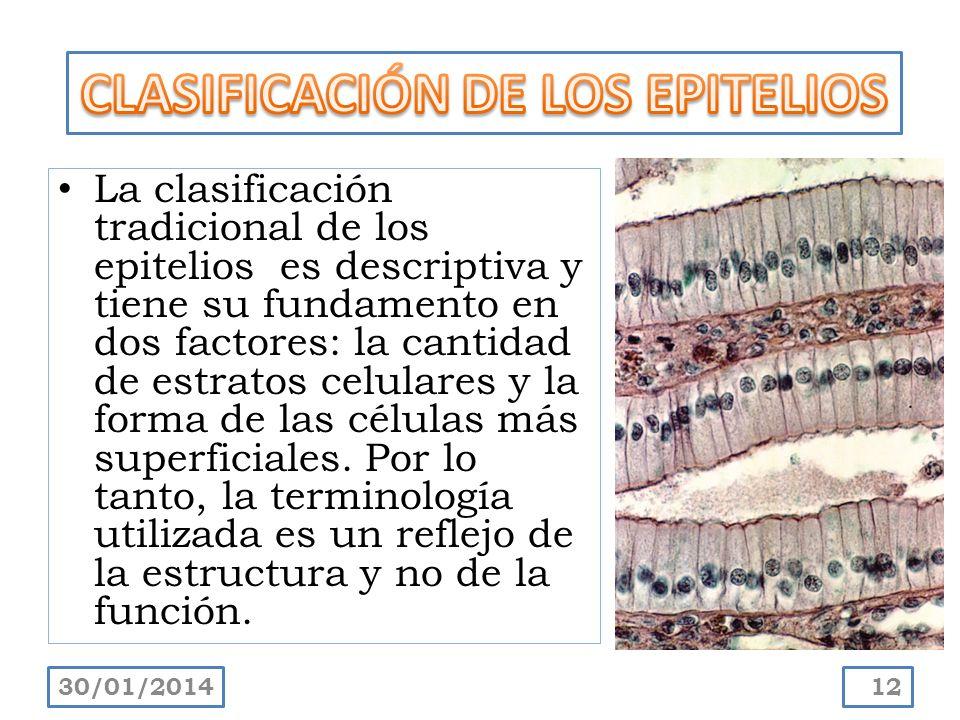 La clasificación tradicional de los epitelios es descriptiva y tiene su fundamento en dos factores: la cantidad de estratos celulares y la forma de la