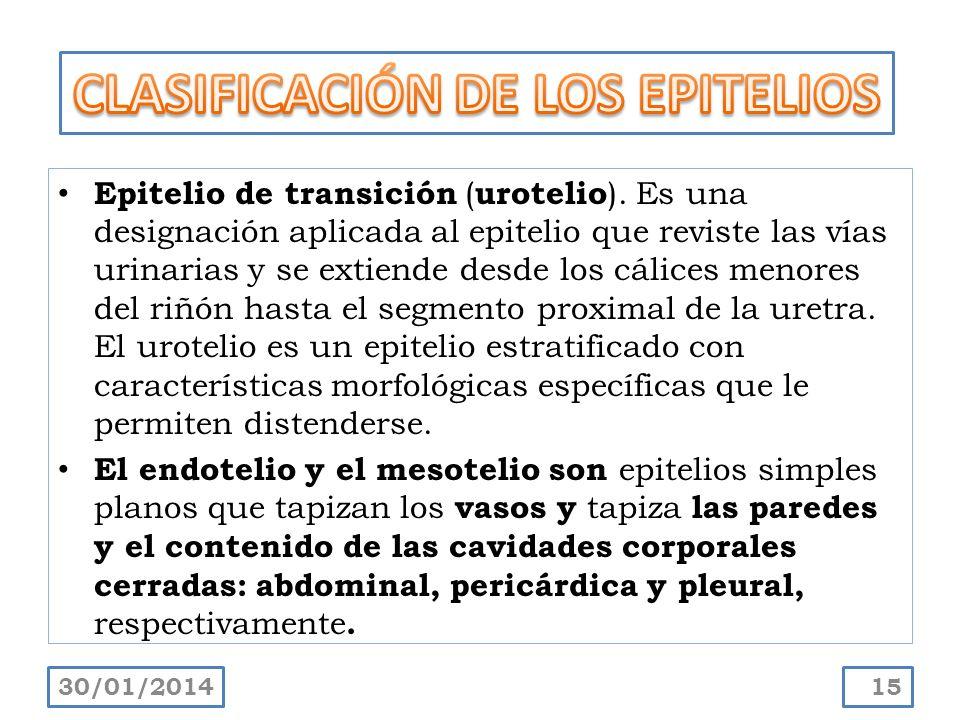 Epitelio de transición ( urotelio ). Es una designación aplicada al epitelio que reviste las vías urinarias y se extiende desde los cálices menores de
