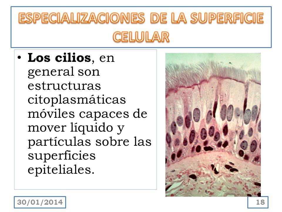 Los cilios, en general son estructuras citoplasmáticas móviles capaces de mover líquido y partículas sobre las superficies epiteliales. 30/01/201418