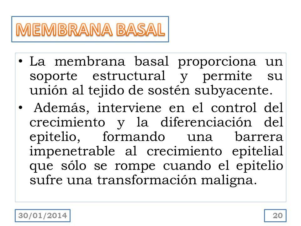 La membrana basal proporciona un soporte estructural y permite su unión al tejido de sostén subyacente. Además, interviene en el control del crecimien