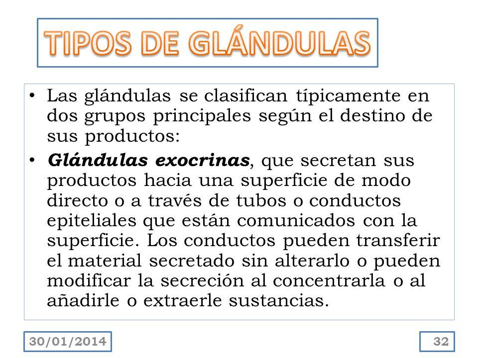 Las glándulas se clasifican típicamente en dos grupos principales según el destino de sus productos: Glándulas exocrinas, que secretan sus productos h