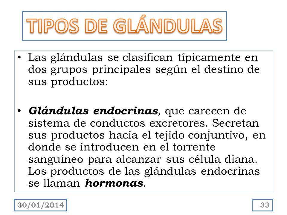 Las glándulas se clasifican típicamente en dos grupos principales según el destino de sus productos: Glándulas endocrinas, que carecen de sistema de c