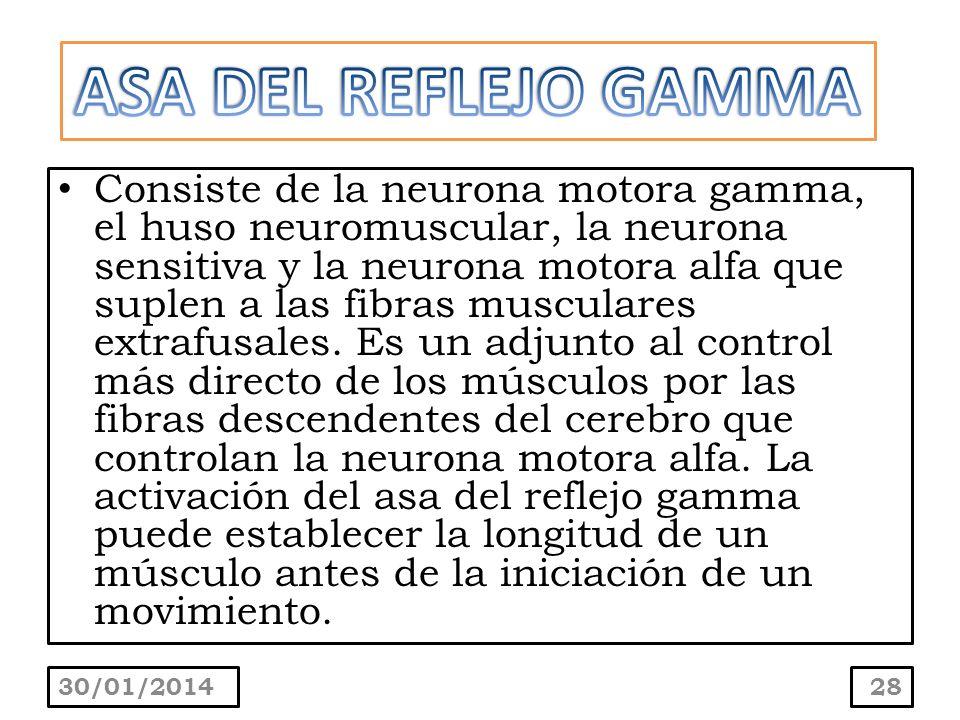 Consiste de la neurona motora gamma, el huso neuromuscular, la neurona sensitiva y la neurona motora alfa que suplen a las fibras musculares extrafusa