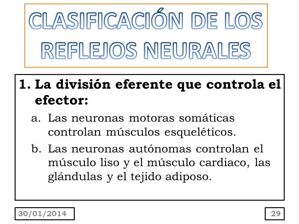 1.La división eferente que controla el efector: a.Las neuronas motoras somáticas controlan músculos esqueléticos. b.Las neuronas autónomas controlan e