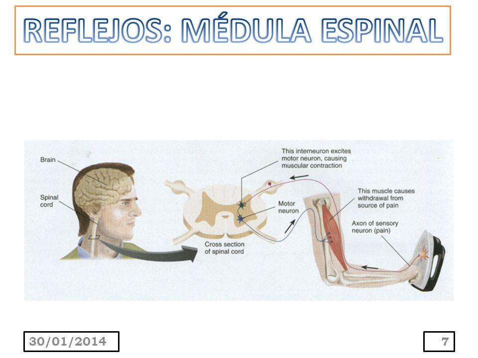 Consiste de la neurona motora gamma, el huso neuromuscular, la neurona sensitiva y la neurona motora alfa que suplen a las fibras musculares extrafusales.