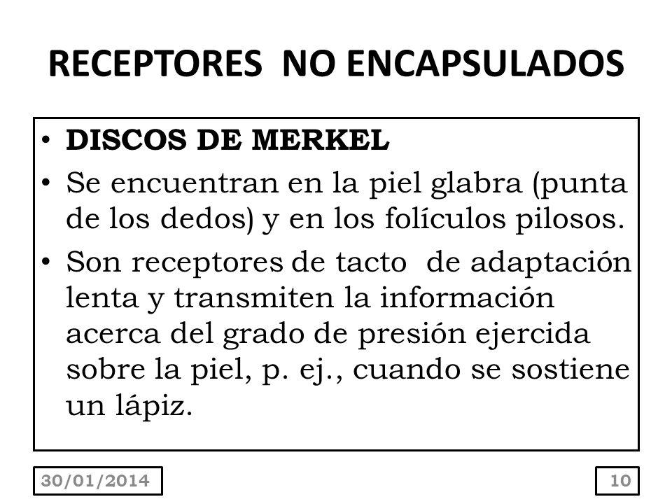 RECEPTORES NO ENCAPSULADOS DISCOS DE MERKEL Se encuentran en la piel glabra (punta de los dedos) y en los folículos pilosos. Son receptores de tacto d