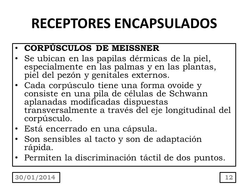 RECEPTORES ENCAPSULADOS CORPÚSCULOS DE MEISSNER Se ubican en las papilas dérmicas de la piel, especialmente en las palmas y en las plantas, piel del p