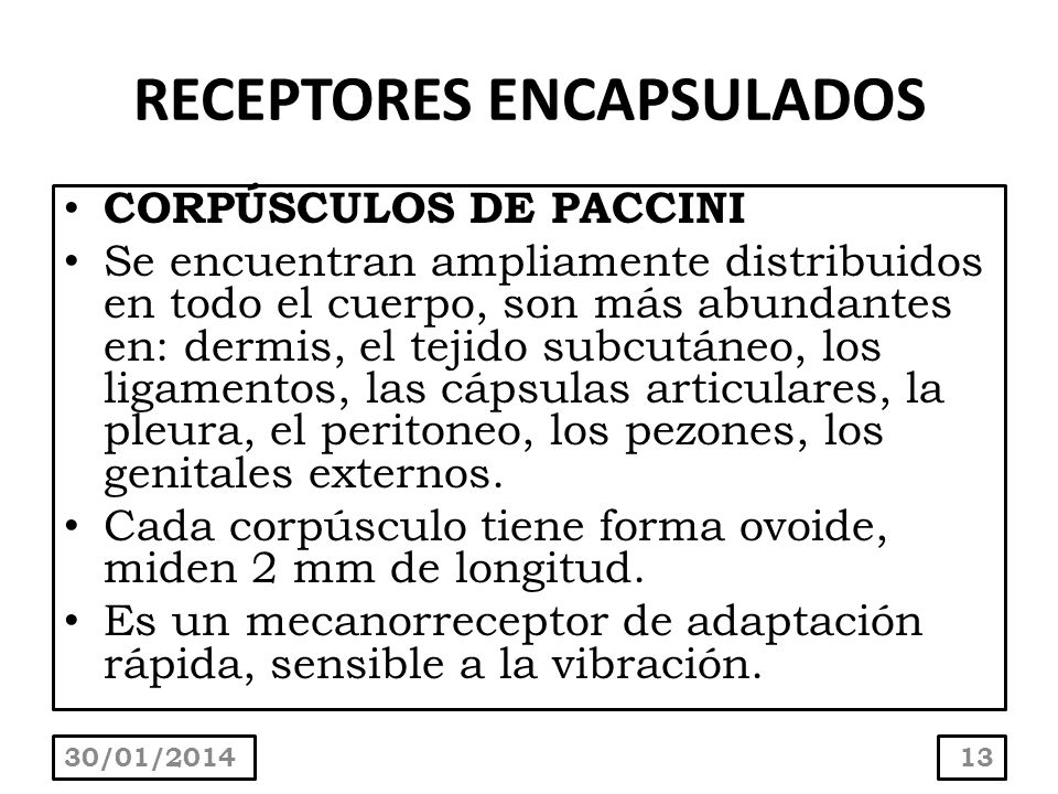 RECEPTORES ENCAPSULADOS CORPÚSCULOS DE PACCINI Se encuentran ampliamente distribuidos en todo el cuerpo, son más abundantes en: dermis, el tejido subc