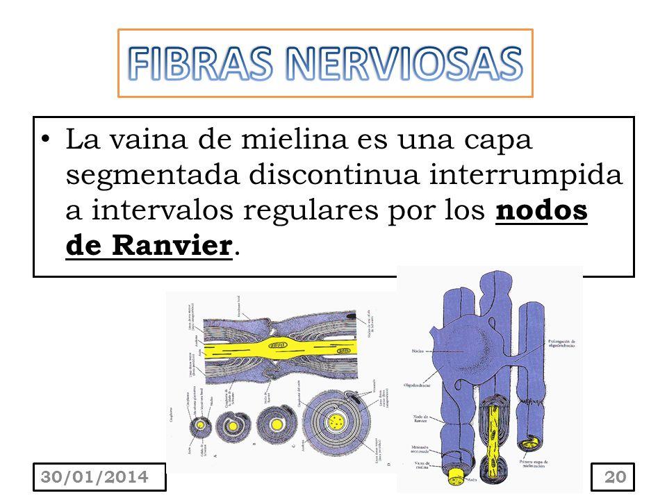 La vaina de mielina es una capa segmentada discontinua interrumpida a intervalos regulares por los nodos de Ranvier. 30/01/201420