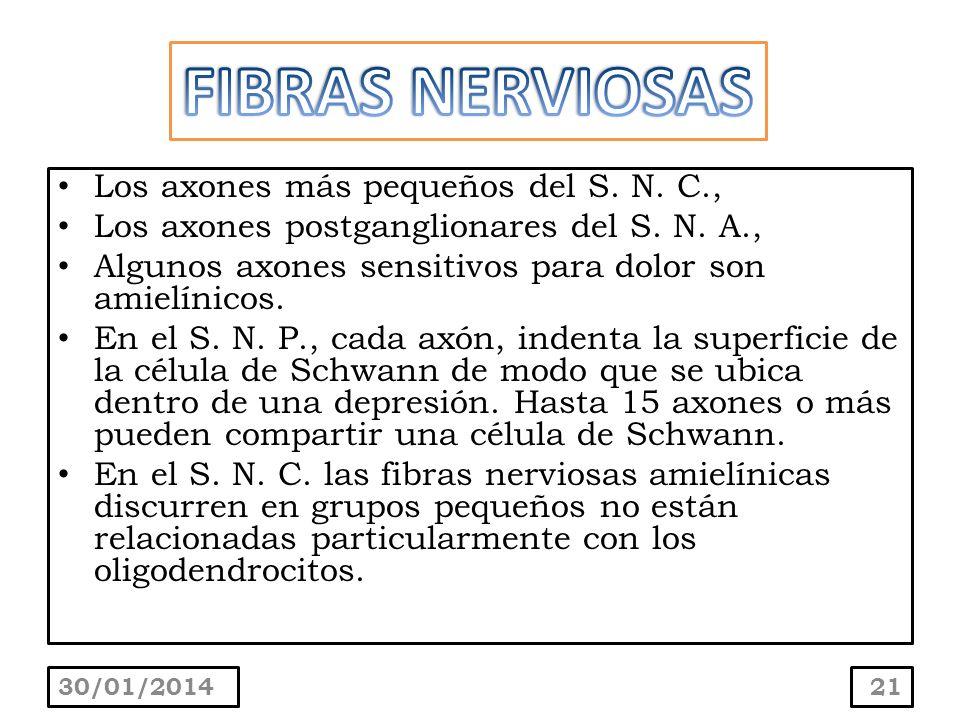 Los axones más pequeños del S. N. C., Los axones postganglionares del S. N. A., Algunos axones sensitivos para dolor son amielínicos. En el S. N. P.,