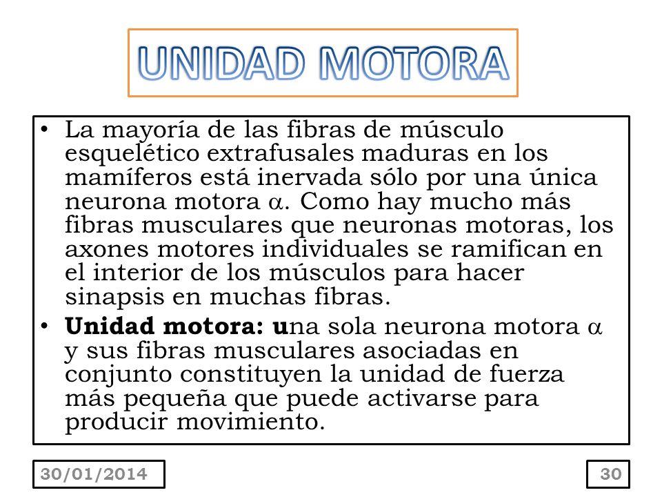 La mayoría de las fibras de músculo esquelético extrafusales maduras en los mamíferos está inervada sólo por una única neurona motora. Como hay mucho