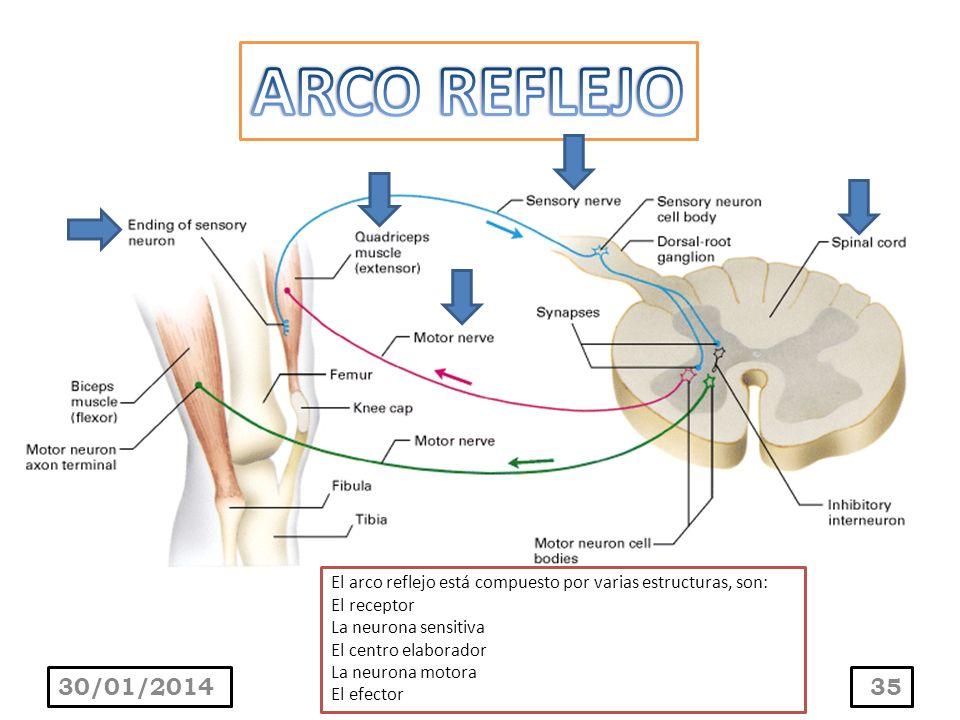 30/01/201435 El arco reflejo está compuesto por varias estructuras, son: El receptor La neurona sensitiva El centro elaborador La neurona motora El ef
