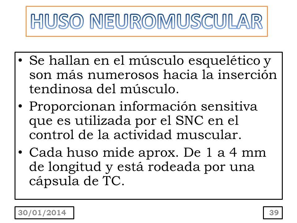 Se hallan en el músculo esquelético y son más numerosos hacia la inserción tendinosa del músculo. Proporcionan información sensitiva que es utilizada