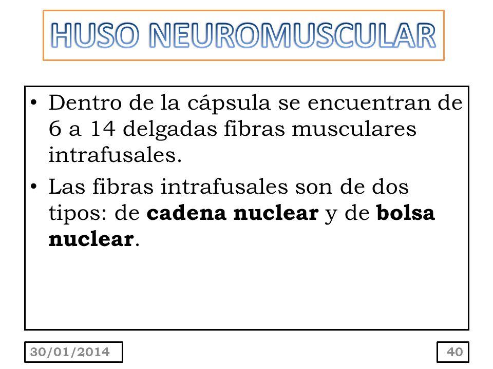 Dentro de la cápsula se encuentran de 6 a 14 delgadas fibras musculares intrafusales. Las fibras intrafusales son de dos tipos: de cadena nuclear y de