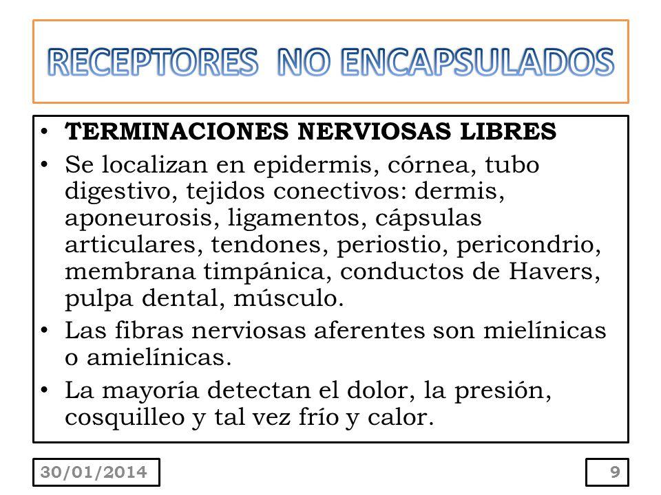 TERMINACIONES NERVIOSAS LIBRES Se localizan en epidermis, córnea, tubo digestivo, tejidos conectivos: dermis, aponeurosis, ligamentos, cápsulas articu