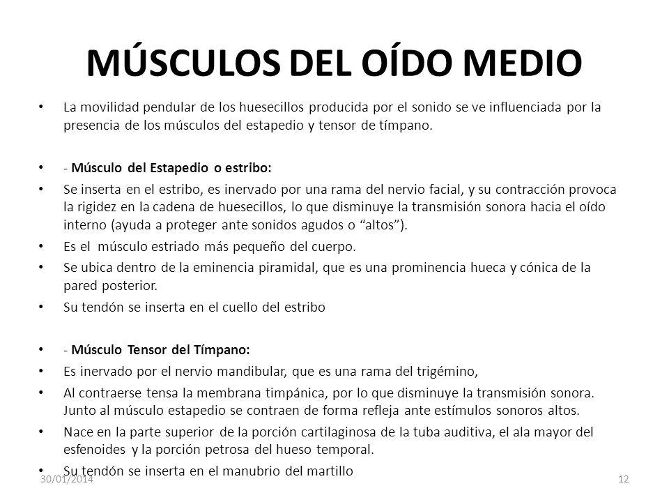 MÚSCULOS DEL OÍDO MEDIO La movilidad pendular de los huesecillos producida por el sonido se ve influenciada por la presencia de los músculos del estap