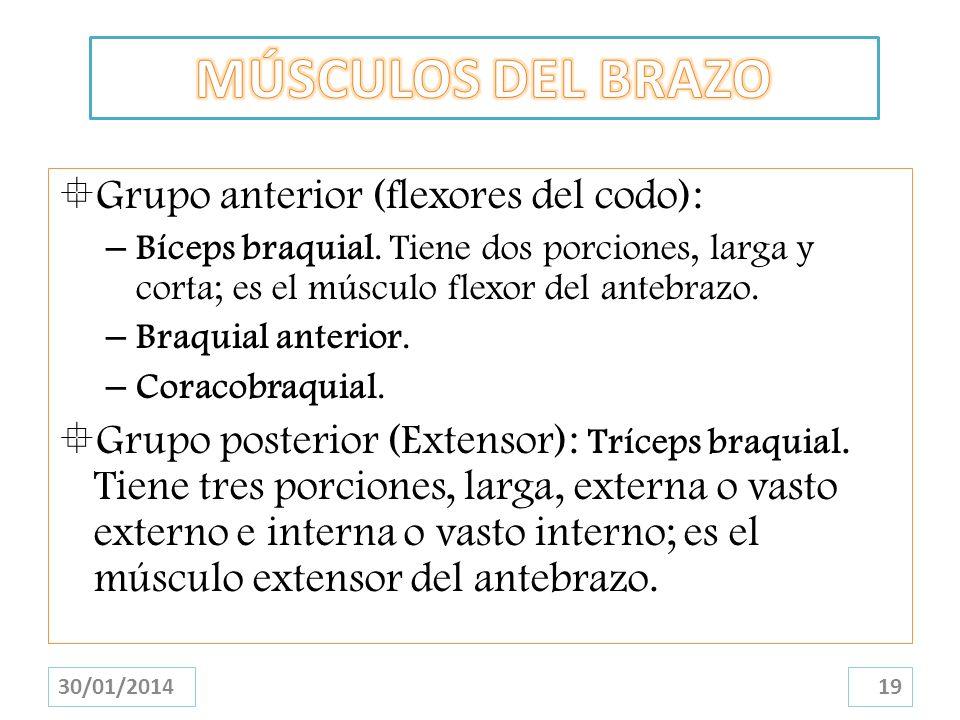 Grupo anterior (flexores del codo): – Bíceps braquial. Tiene dos porciones, larga y corta; es el músculo flexor del antebrazo. – Braquial anterior. –