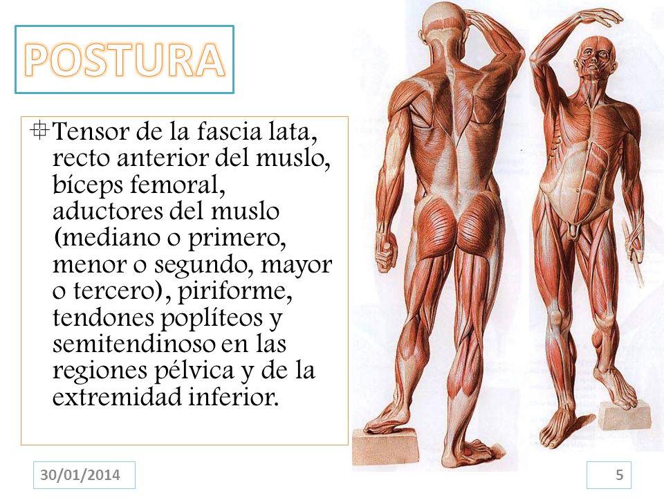 Tensor de la fascia lata, recto anterior del muslo, bíceps femoral, aductores del muslo (mediano o primero, menor o segundo, mayor o tercero), pirifor