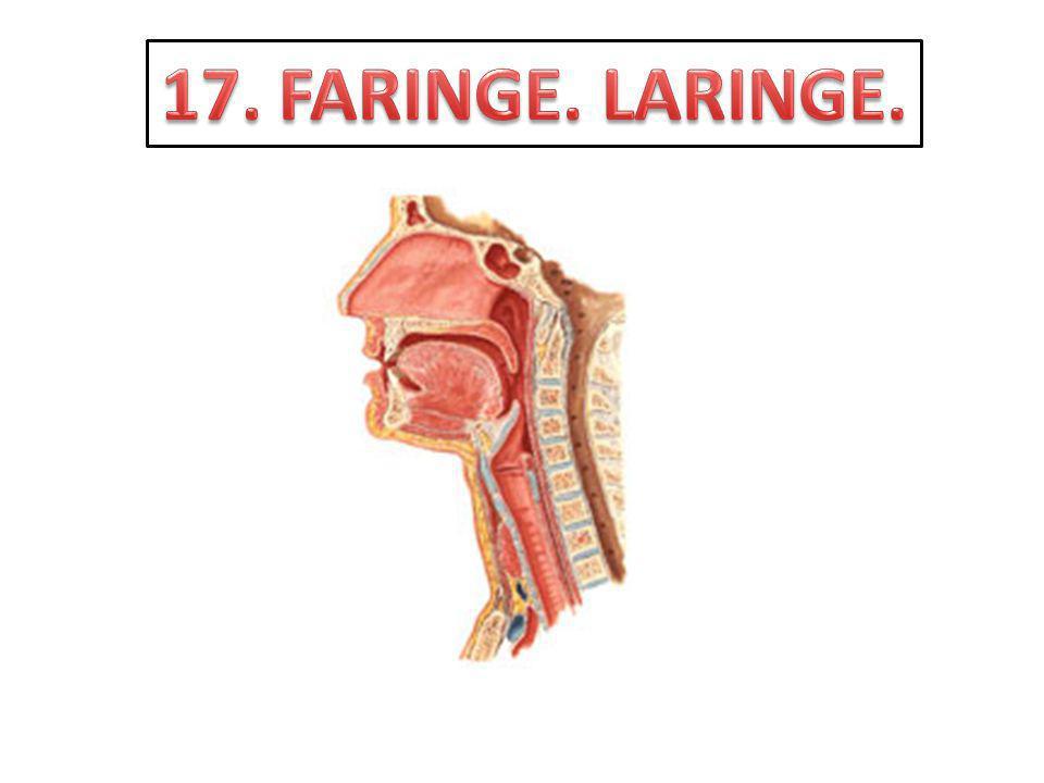 Sitúe y delimite a la faringe.Enuncie la forma y conformación de la faringe.